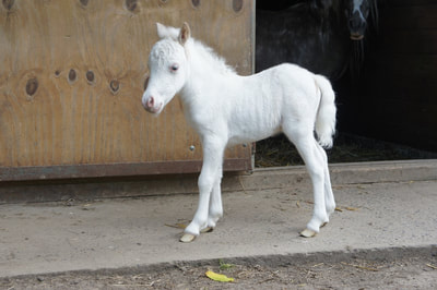 Maximum silverdapple filly out of Magic